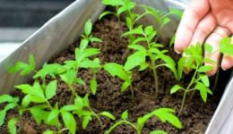 Как вырастить рассаду томатов дома