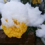 Укрытие цветов на зиму