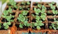 Посев семян ремонтантной земляники