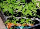 вырастить рассаду томатов