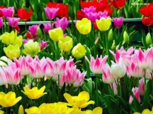 Как посадить тюльпаны осенью