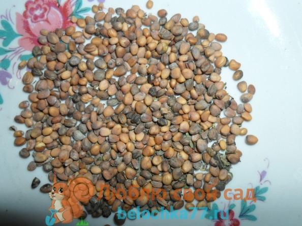 Свои семена редиса