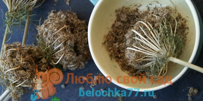Как собрать семена моркови, свеклы, репы, редьки