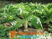 выращивание дайкона