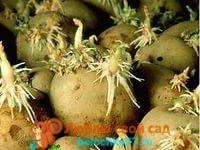 как посадить картофель