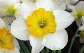 Нарцисс – посадка и уход выращивание
