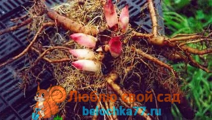 пионы - размножение и уход