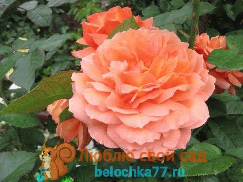 как правильно посадить розы