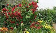 как укрыть розы на зиму