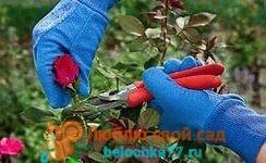 как обрезать розы
