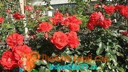 как укрыть розы