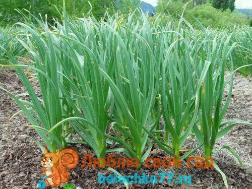 Как посадить яровой чеснок