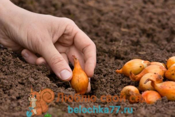 Правильная посадка лука севка осенью