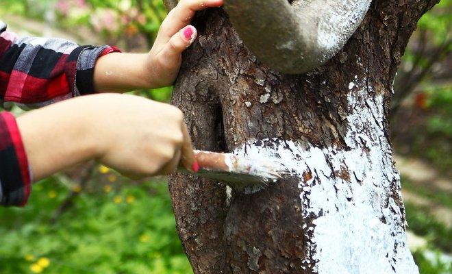 Сроки побелки, когда надо белить деревья осенью