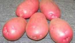 Сорта картофеля, фото и описание