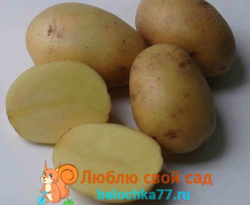 Cорта картофеля фото