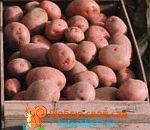 сорта картофеля - описание и фото