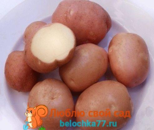 Описание сорта картофеля фото