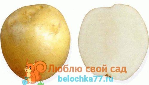 Сорта картофеля – описание