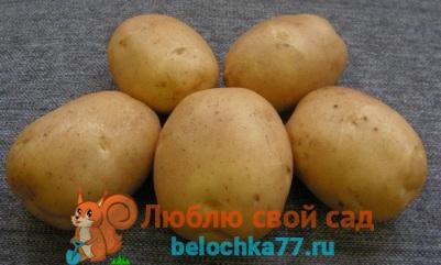 Сорта картофеля – описание и фото
