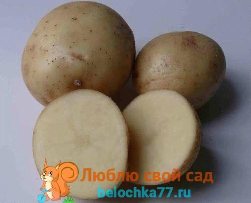 Сорта картофеля – фото и описание