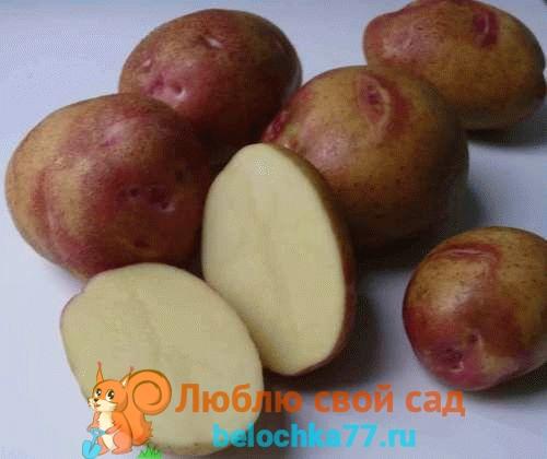 Сорта картофеля – описание фото