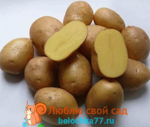 описание и фото картофеля