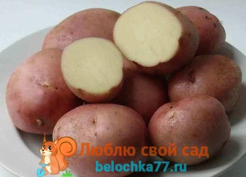Сорта картофеля с фото и описанием.