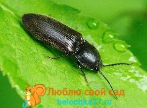 как избавиться от жука щелкуна