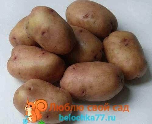 сорта картофеля - Жуковский