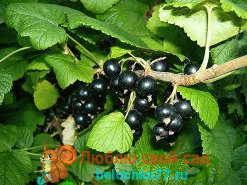 посадка черной смородины осенью черенками