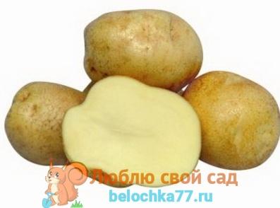 сорта картофеля описание