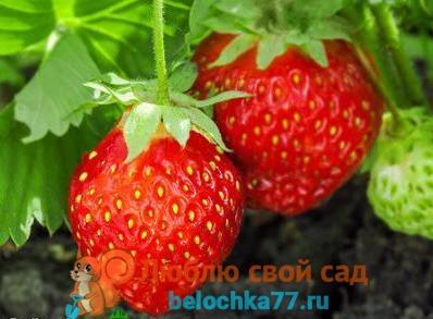 выращивание ягод клубники
