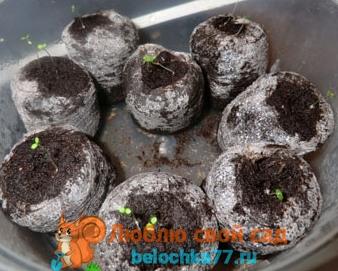 как вырастить крупную клубнику