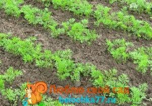 морковь посадка весной