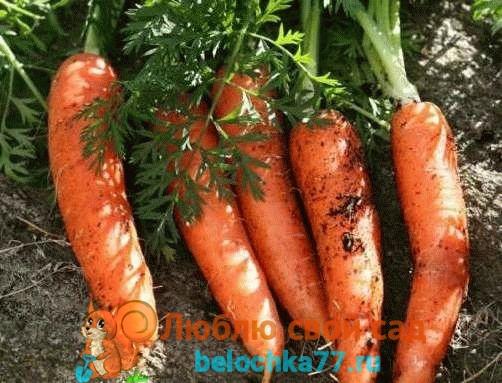 посадка моркови рано весной