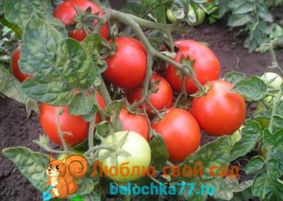 Сорта томатов для Урала