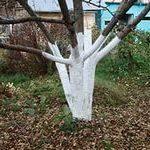 побелка садовых деревьев осенью