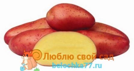 Сорт картофеля ред фентази