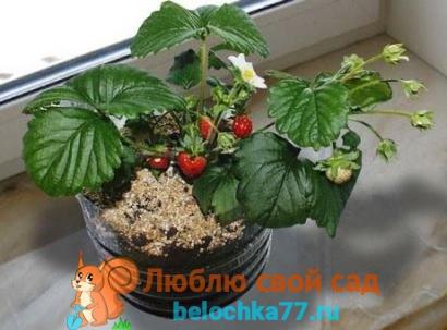 Как вырастить клубнику из семян дома