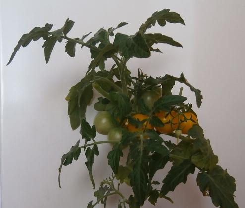Выращивание томатов на подоконнике зимой