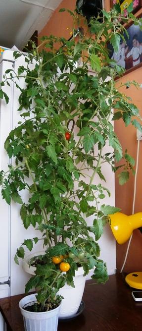 томаты на подоконнике
