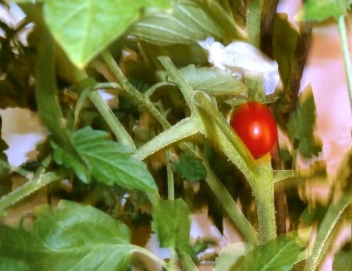 Как вырастить томат на подоконнике