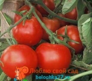 Томат Взрыв для выращивания без рассады в открытом грунте