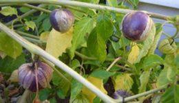 Физалис - выращивание и уход в открытом грунте, фото