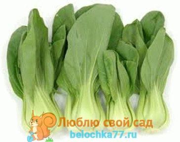 виды капусты - китайская