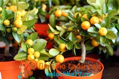 Выращивание мандарина из косточки - мандариновое дерево на подоконнике