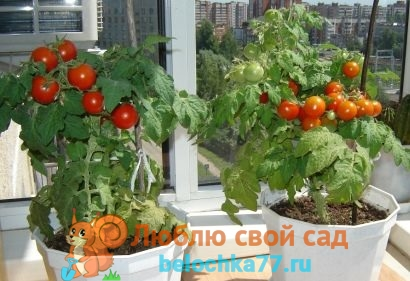 Выащивание томатов на подоконнике зимой