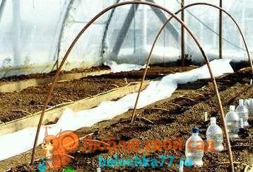 томаты - как вырастить без рассады