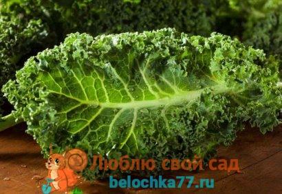 капуста кале - польза и вред, выращивание, приготовление